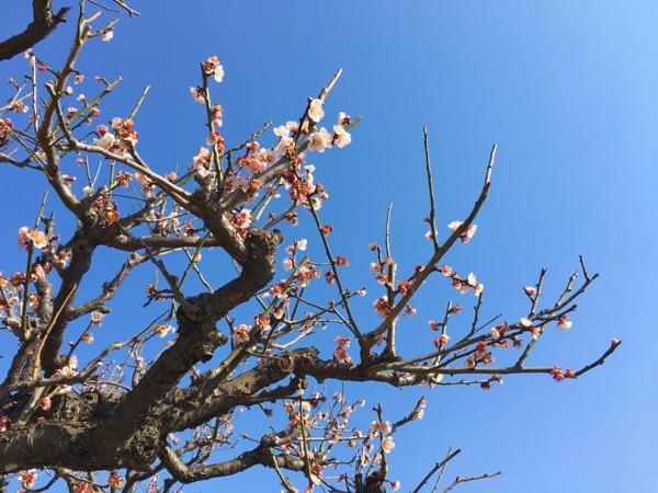 Nhật Bản, mùa hoa mơ về Thumbnail