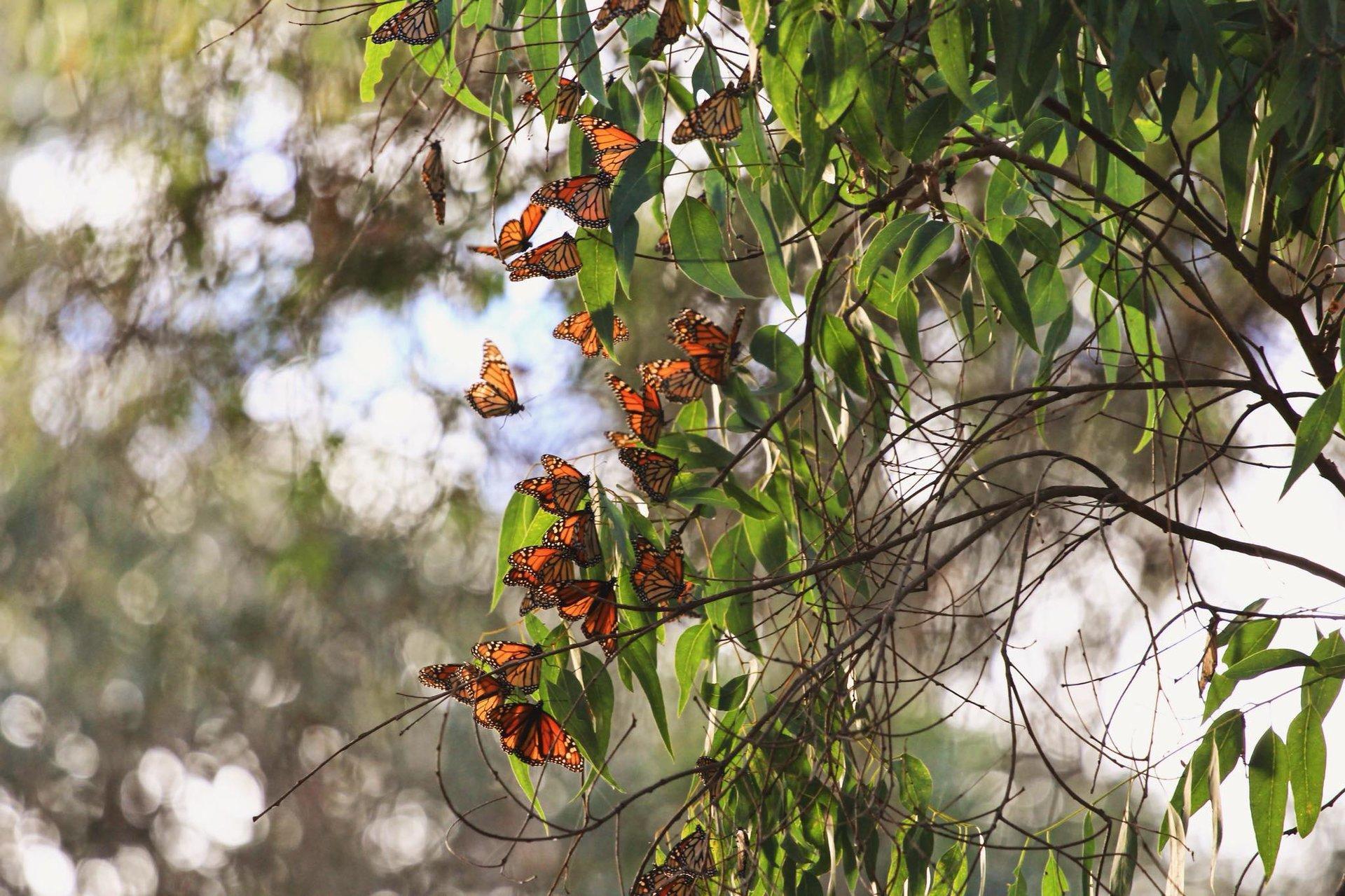 Santa Cruz-Mornach Butterflies Thumbnail
